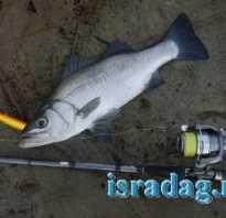 Рыба лаверда