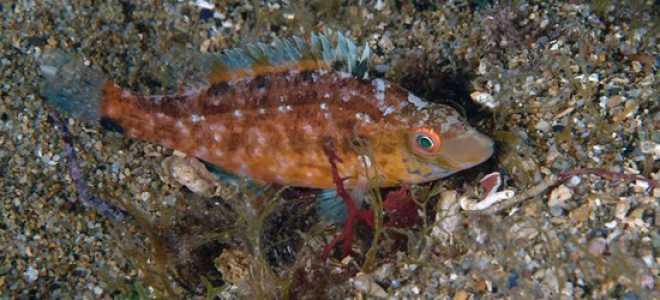 Рыба рябча