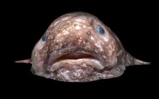 Рыба каплин