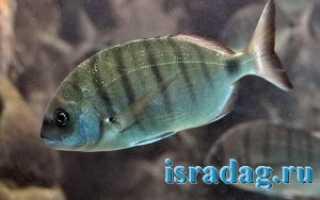 Карагез рыба