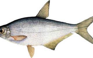 Сопа рыба фото